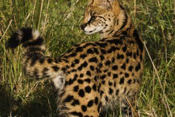Сервал — кустарниковая африканская кошка
