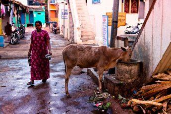 Священная корова — что это?