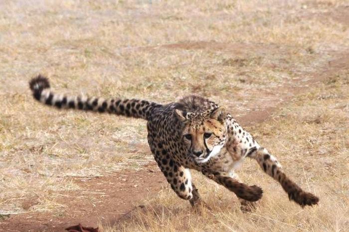 Древний способ охоты с гепардами