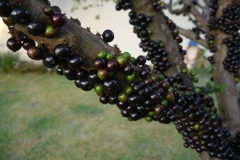 Джаботикаба — виноградное дерево