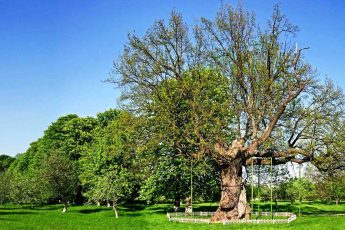 Древний дуб: спасательная операция