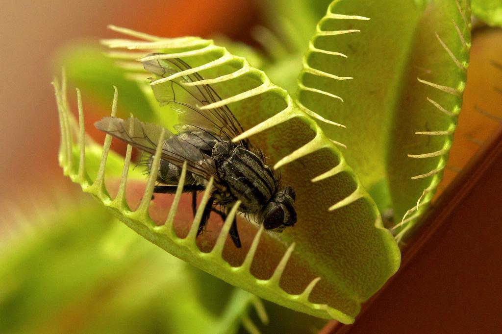 Растение-хищник: венерина мухоловка