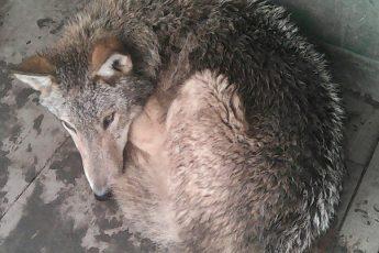 Притравка охотничьих собак, тесные клетки, укусы, раны, и скорая…