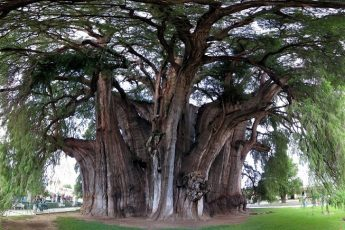 Туле: дерево-гора
