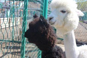 Необычно подстриженные альпаки
