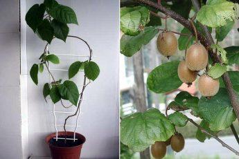 Киви: выращиваем дома