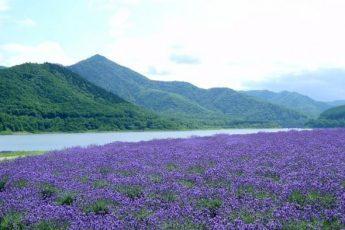 Цветы лаванды — целебная сила природы