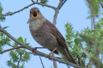 Соловей — птица певчая
