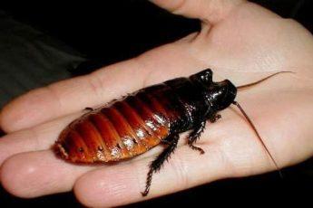 Мадагаскарский таракан- неприхотливая экзотика в Вашей квартире