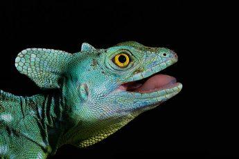 Василиски: ящерица с головой петуха
