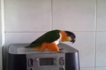 Попугай танцует на кофемашине